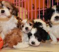 cavachon puppies in georgia (4)