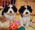 cavachon puppies in georgia (8)