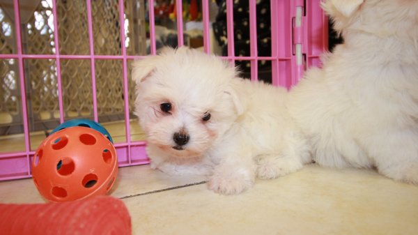 Lovable TCup, Maltese Puppies For Sale in Atlanta, Ga