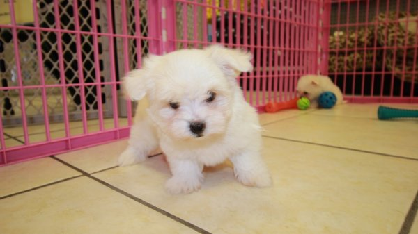 Lovable Tcup Maltese Puppies For Sale In Atlanta Ga At