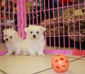Maltese Puppies in Georgia (5)