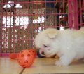 Maltese Puppies in Georgia (7)