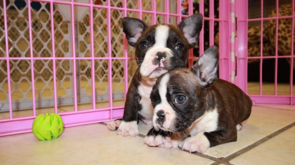 Precious Frenchton Puppies For Sale in Atlanta Georgia