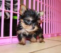 Teacup Yorkie Puppies in Georgia (30)