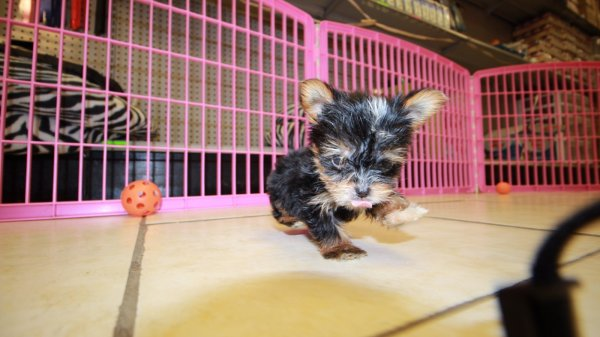 Charming Teacup Yorkie Puppies For Sale In Georgia At Puppies For