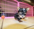 Teacup Yorkie Puppies in Georgia (36)