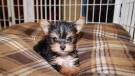 Teacup, Yorkie Puppies For Sale In Georgia