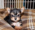 Teacup Yorkie Puppies in Georgia (4)