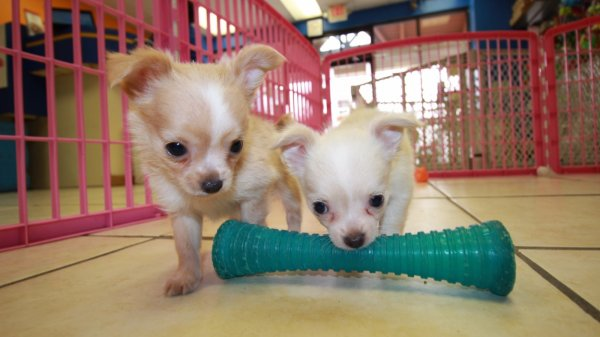 Huggable White & Cream, Long Hair, Chihuahua Puppies For Sale In Atlanta, Ga