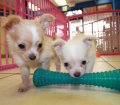 chihuahua puppies for sale in ga (15)