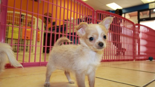Huggable White Cream Long Hair Chihuahua Puppies For Sale In