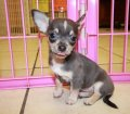 chihuahua puppies for sale in ga (32)