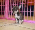 chihuahua puppies for sale in ga (3)