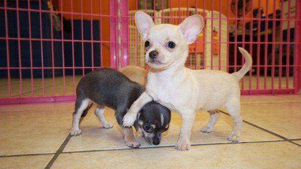 Huggable White & Cream, Long Hair, Chihuahua Puppies For