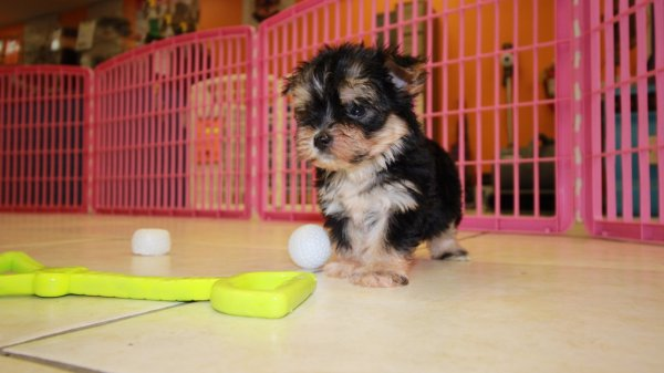 Unique TeaCup Morkie Puppies For Sale in Ga at - Puppies For