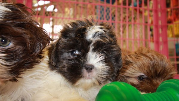 Unique Blue Shih Tzu Puppies For Sale In Ga At Puppies For Sale