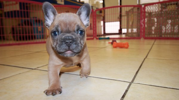 Pretty Lilac Fawn with Blue Eyes, French Bulldog Puppies For Sale In Ga
