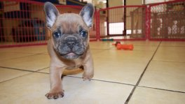 lilac fawn blue eyes french bulldog puppies for sale in ga