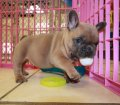 Lilac Fawn French Bulldog Puppies For Sale Ga (23)