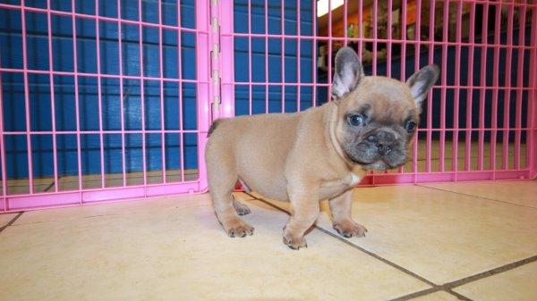 Pretty Lilac Fawn With Blue Eyes French Bulldog Puppies