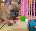 Lilac Fawn French Bulldog Puppies For Sale Ga (6)