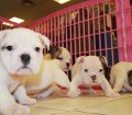 English Bulldog (1)