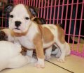 English Bulldog (4)