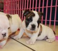 English Bulldog (5)