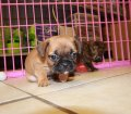 bullshih puppies for sale in ga (20)