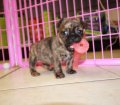 bullshih puppies for sale in ga (21)