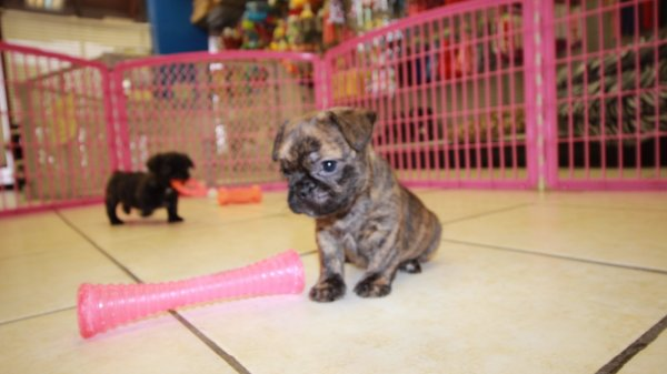 Charming Brindle, BullShih Puppies For Sale in GA