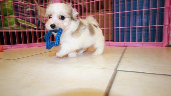 unique white brown coton de tulear puppies for sale in ga at