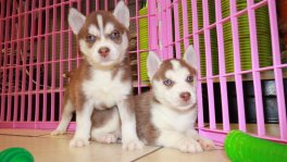 red copper siberian husky puppies for sale in ga georgia