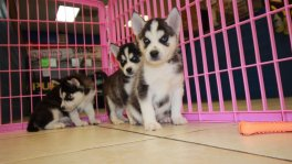 siberian husky puppies for sale in ga georgia
