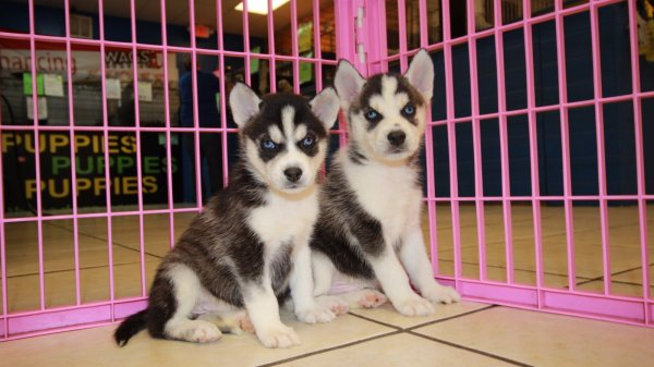 Image Result For Siberian Husky Puppies For Sale In Ga