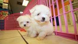 tiny teacup maltese puppies for sale georgia loca breeders