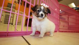sable white papillon puppies for sale georgia local breeders