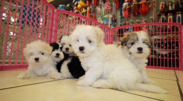Good Looking Teddy Bear Puppies for Sale In Georgia. Hypoallergenic Non Shedding dog breed