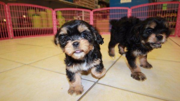 Precious Black and Tan Cavachon Puppies For Sale In Georgia at