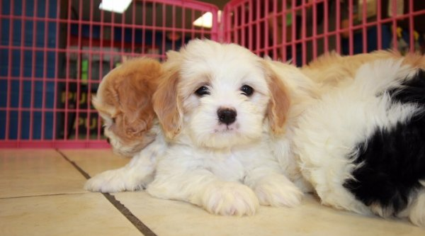 Nice Blenheim And White Cavachon Puppies For Sale In Georgia At Puppies For Sale Local Breeders