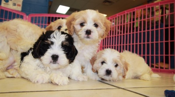 Nice Blenheim and White Cavachon Puppies For Sale In Georgia at