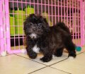 shih poo puppies for sale georgia (22)