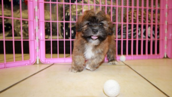 Choice Shih Poo Puppies For Sale In Georgia