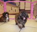 shih poo puppies for sale georgia (3)