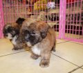 shih poo puppies for sale georgia (4)