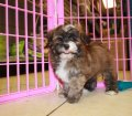 shih poo puppies for sale georgia (8)