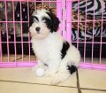 Shih Poo Puppies for sale georgia