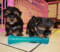 yorkie puppies for sale georgia (12)