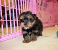 yorkie puppies for sale georgia (16)