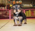 yorkie puppies for sale georgia (17)